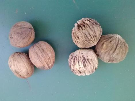 Black walnuts and Carpathian walnuts.