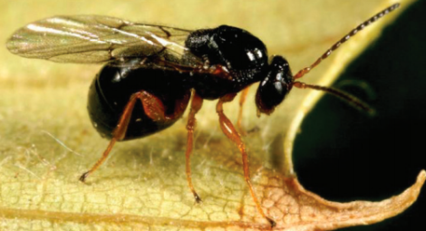 Adult Asian chestnut gall wasp. Photo courtesy University of Missouri Extension