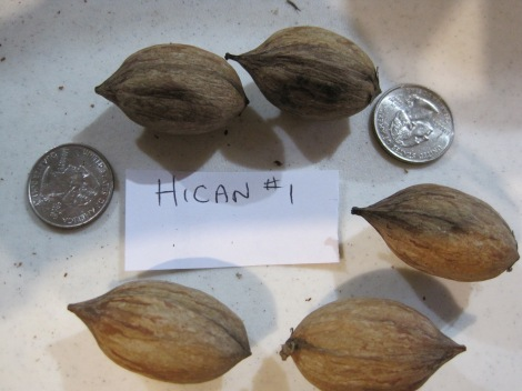 Hican 5-nut sample prior to cracking. US quarters shown for size comparison.